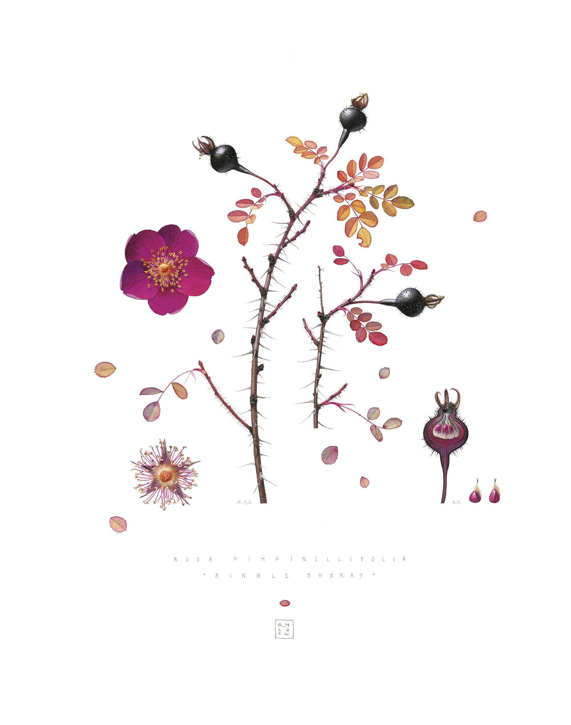 1. Rosa Pimpinellifolia 'Single Sherry'