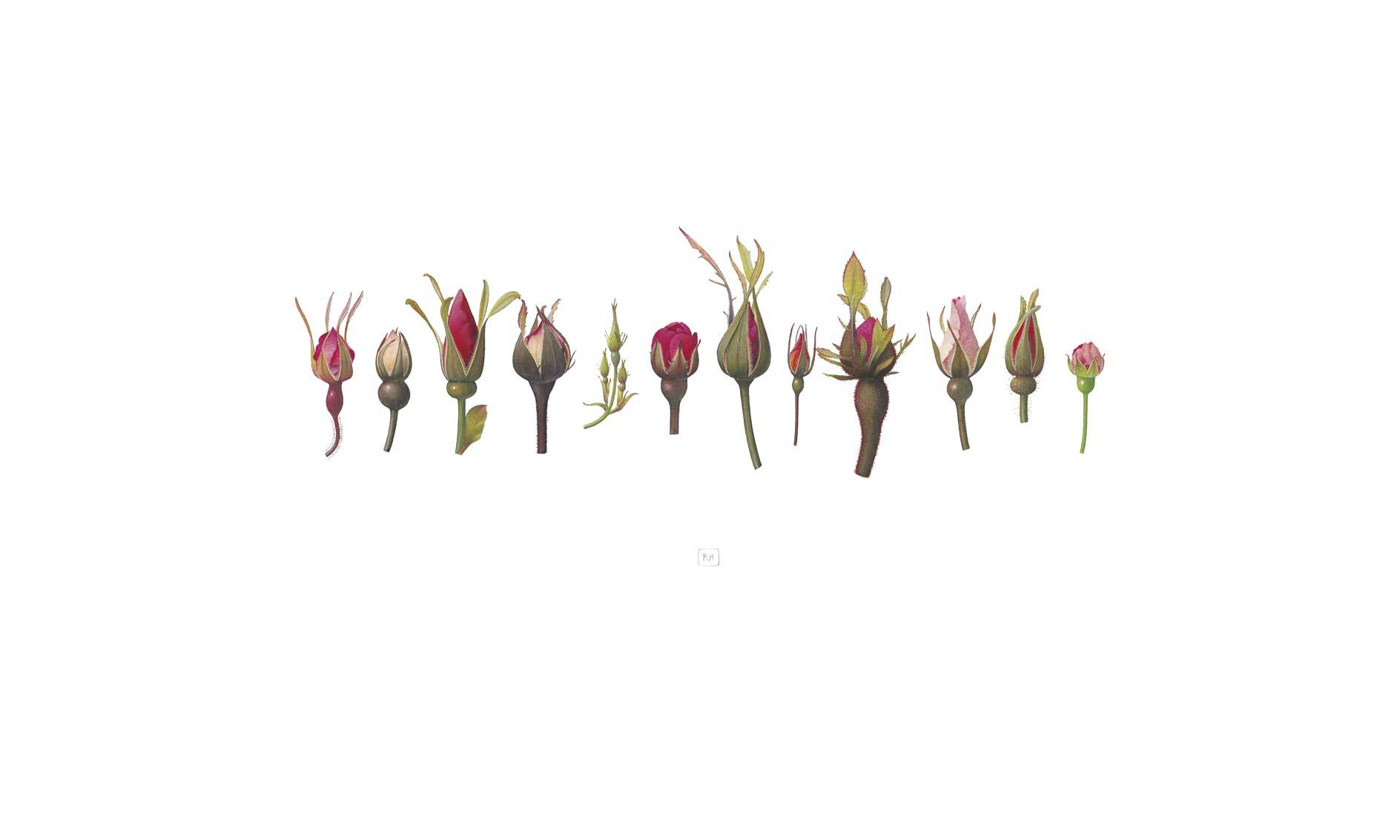 15. Rose II