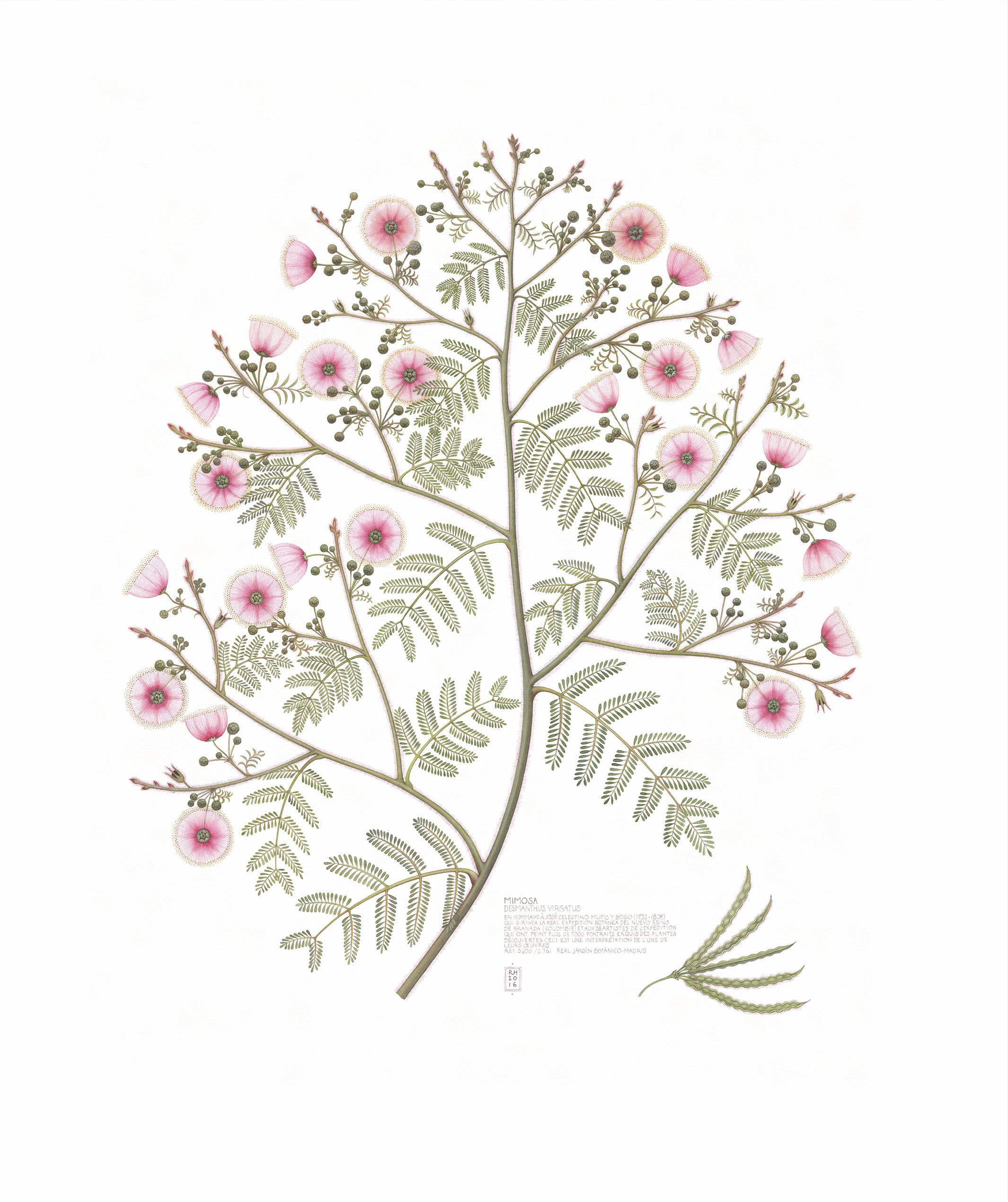 19. Mimosa