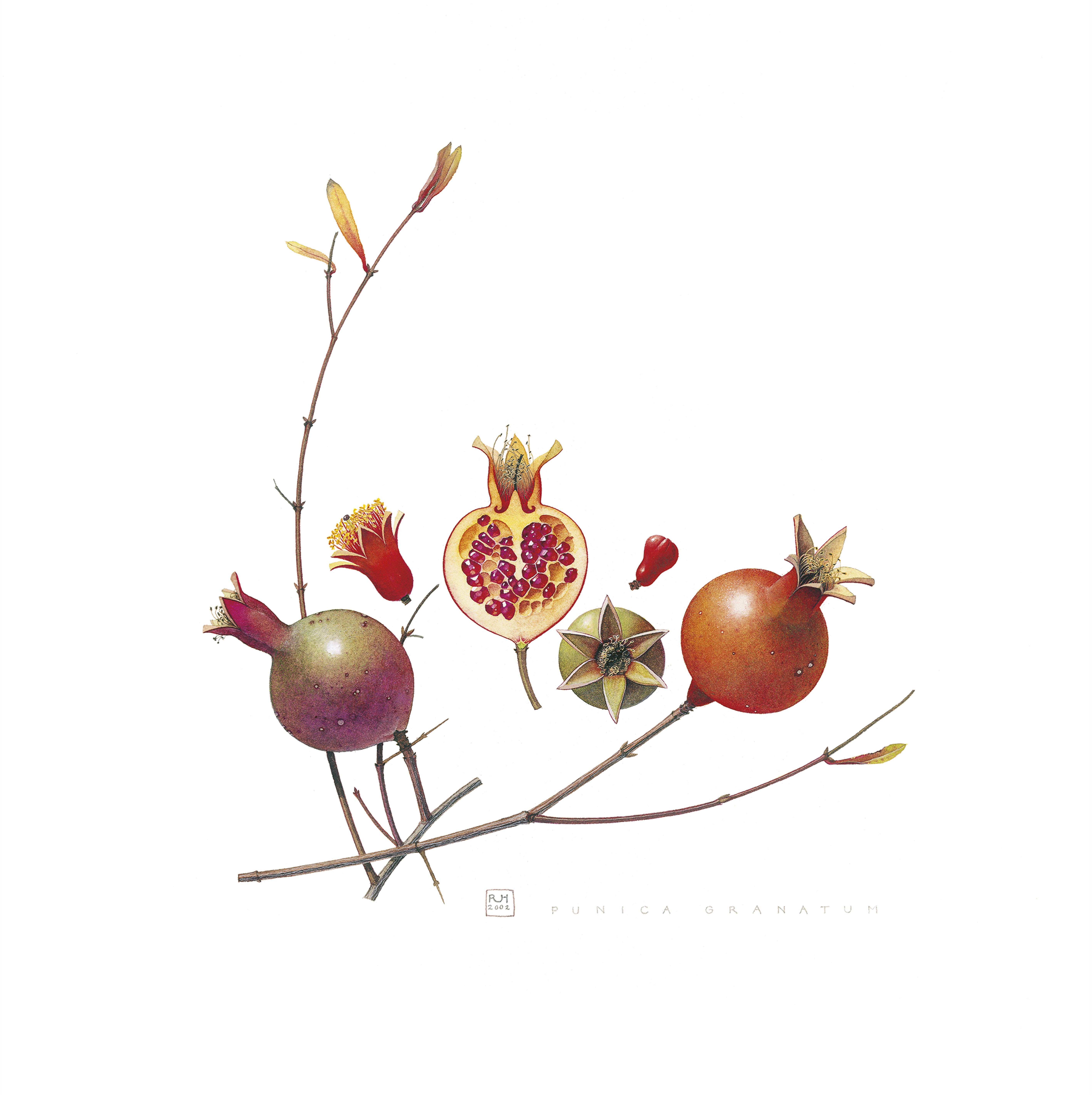 25. Punica Granatum