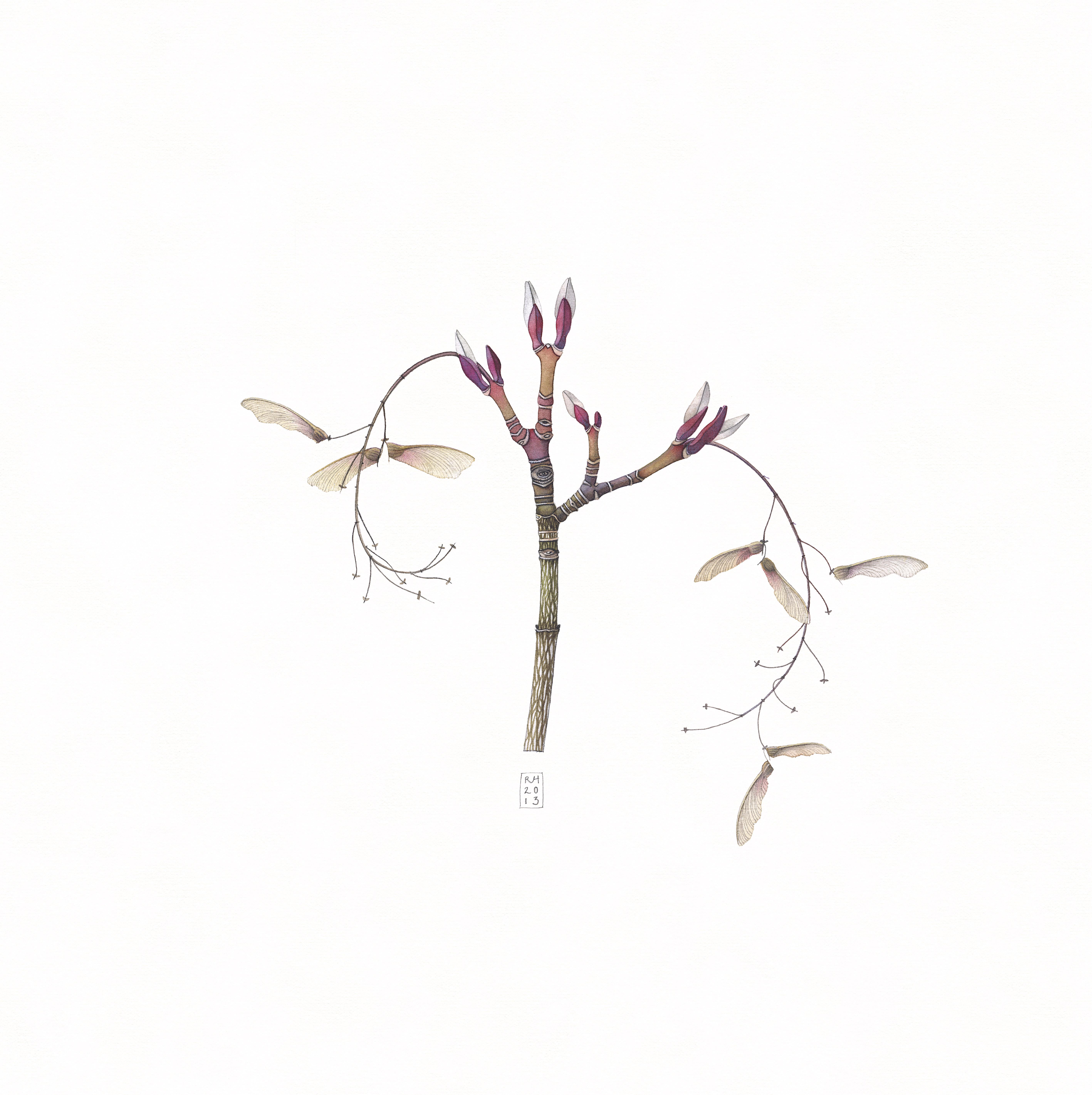 33. Acer pensylvanicum