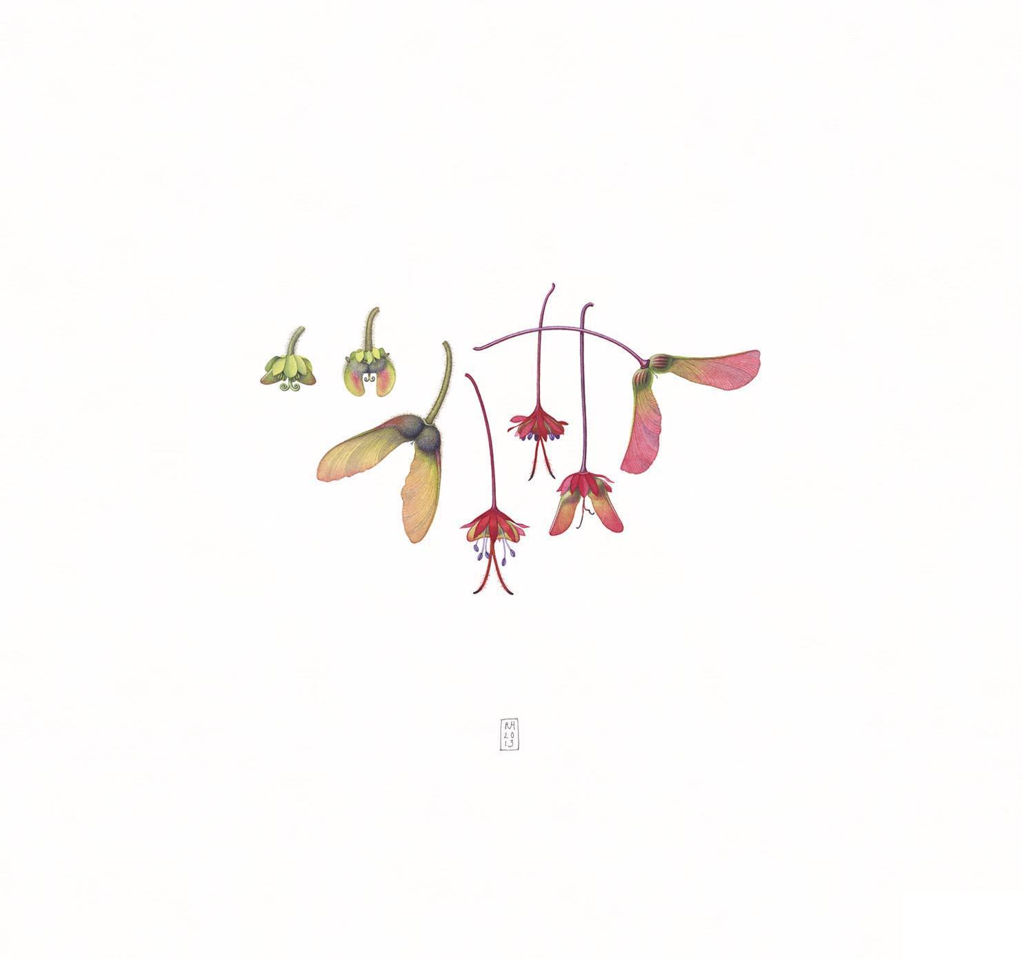 34. Acer triflorum - Acer rubrum